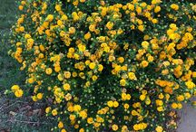 What's flowering in Perth - January / To keep track of what is flowering in gardens around Perth to help with seasonal garden planning. I'm open to local collaborators!