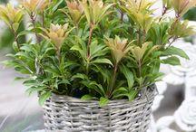 &EVERGREENS / Pieris, Leucothoe, Osmanthus, Photinia and Virburnum to brighten your garden.