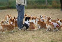 corgis- you can't stop at just one / by Pamela C