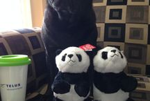 Edie the Pug and Telus Friends / A pug with a love for Telus Critters