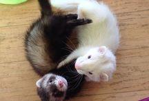 ferrets / ^_^