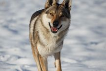 cz sk wolf