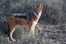 z Animals Canids:  Wild dogs,  wolves Foxes,  Dingos
