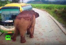 video 5 ton elephant vs car fıght