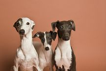 Whippets, Greyhounds, Italian Greyhounds / by Tammy Birch Andrade