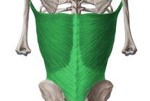 Vállízületi mozgásokat létrehozó izmok