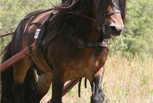 Hästar/Horses