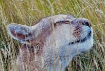 What a feeling! Summer time breeze flesh air… Travel and meet… A Puma in Torres del Paine @ National Park Chile
