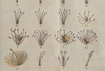 I Monandria / The capital letters correspond to Linnaeus's 24 classes of plants: A: Monandria, B: Diandria, C: Triandria, D: Tetrandria E: Pentandria, F: Hexandria, G: Heptandria, H: Octandria I: Enneandria, K: Decandria, L: Dodecandria, M: Icosandria N: Polyandria, O: Didynamia, P: Tetradynamia, Q: Monadelphia R: Diadelphia, S: Polyadelphia, T:Syngenesia, U: Gynandria V: Monoecia, X: Dioecia, Y: Polygamia, Z: Cryptogamia