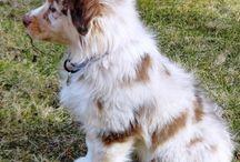 Dogs / Australian Shepherd