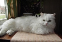 Beautiful white cat, home has been found! / by Debra Galarneau