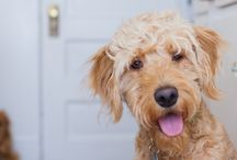 Doodles are GOLDEN / Curious, smart. zoomy-lovin', ball-fetching,  furry, fluff balls of happiness. Doodles are golden.