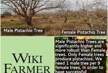 Pistachio Tree / http://www.wikifarmer.com/explore/agriculture/trees/pistachio-tree