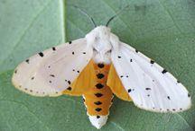 moth fascination