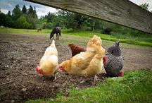 Chicken's / by Angela Stepp