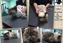 Selkirk Rex Cat Grooming / All breed grooming at The UpScale Tail