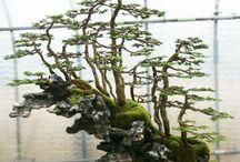 Japanese Bonsai / Chinese Penjing / Tiny garden