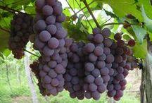 como plantar e cuidar de uvas em casa