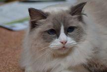 Bubblin Dubblin ( ragdoll cat)