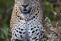 Jaguars / by Sydney Vegezzi
