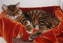 Toyger and Bengal cats