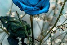 Kék rózsák!
