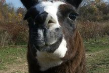 Llamas / by Kymmberly Lail