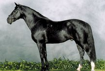 Furioso-North Star / country of origin - Hungary | average height 157-170 cm | colours - predominantly bay/brown, black, chestnut| uses - driving, general riding