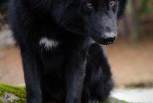 Черные собаки