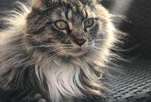 Mainská mývalí kočka / Maine Coon cat