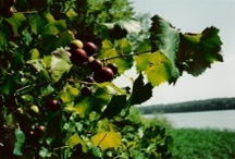 Fruit: Grapes / Start right, and most fruits thrive with a minimum of care. Learn more from the experts at http://www.gardeningknowhow.com / by Gardening Know How