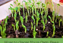 Growing Peas / Advice and tips on growing peas