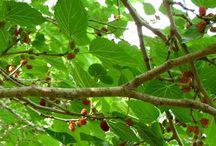 Fruit tree info