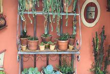 Suculentas / Succulents
