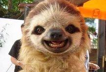 lenochod sloth