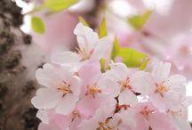 Sakura (Cherry Blosson)