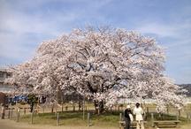 sakura / 茨城県常陸太田市瑞竜小学校の瑞桜(ソメイヨシノ) / by Tamio Iizuka