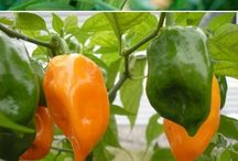 Peppers - Capsicum spp. / 2016 Herb of the Year / by Herb Society of America