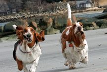 Basset Hounds, Black Labs, Dachshunds, dogs in general / by Cyndi Perrelle MacDonald