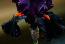 Iris kosatec