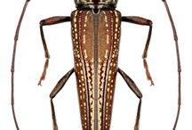 Cerambycidae / Longhorn beetles