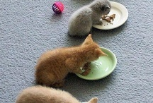 paljon kissan pentuja rivissä/syö
