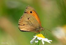 Kelebekler / Kelebek, butterfly, butterflies