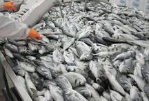 vissenfabriek