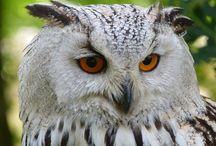 gufo owl