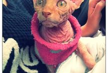 My beautiful canadian Sphynx, Liza