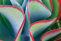 Succulents / by Janet Williams