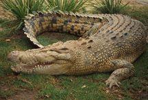 Gorgeous Crocodiles