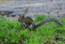scoiattoli americani.