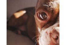 The Boston Terrier Club / Adorable photos of squish face Boston Terrier dogs.